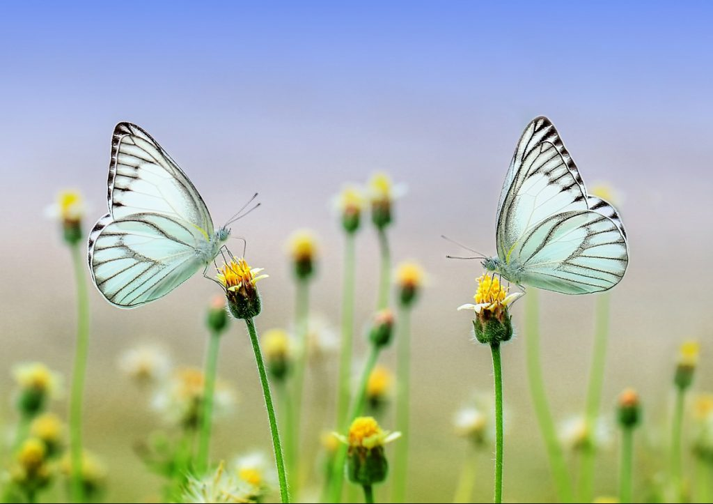 向き合う蝶々